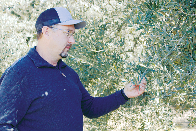 Milo Gorden ponders the future of his olive grove in Lemon Cove last week after olive processor Bell-Carter canceled most of its contracts with California olive growers. The decision means about 4,500 acres of olives will be affected in Tulare County. Photo by Patrick Dillon